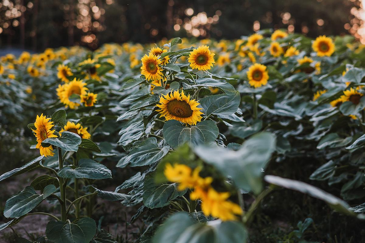 słoneczniki Zabierzów